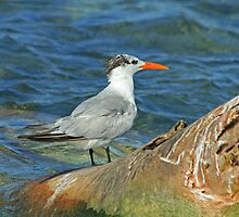 Royal Tern by Robert Abraham