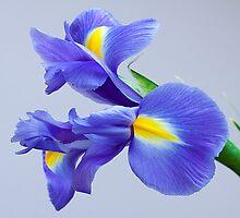 Iris by OpalFire