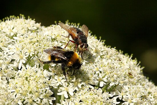 Hello Mr Bumble, do you mind if I join you for lunch? by Mark Hughes
