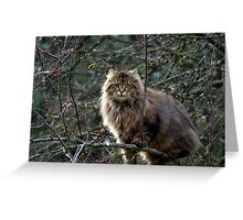 Maine Coon Tabby Cat Greeting Card