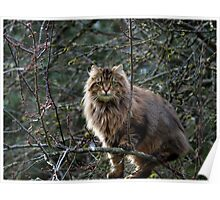 Maine Coon Tabby Cat Poster