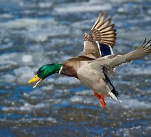 Mallard Drake in Flight by Daniel  Parent