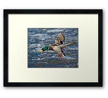 Mallard Drake in Flight Framed Print