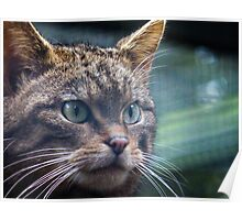 Wildcat watches squirrell Poster