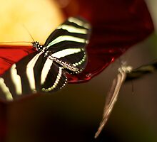 Zebra-like Butterflies by wannabecool