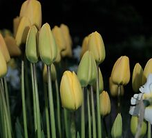 Yellow Tulips  by Lou Wilson