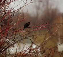 Red Winged Blackbird by nitsmule