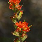 Indian Paintbrush by Liz Bell