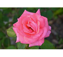 Pink rose with diamond-dust dew Photographic Print