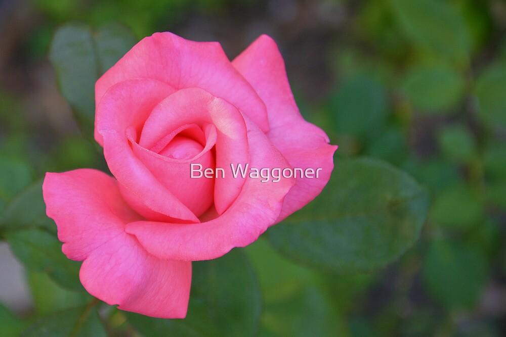Pink rosebud waking and stretching by Ben Waggoner