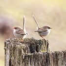 2 Female Fairy wrens by Ron Co