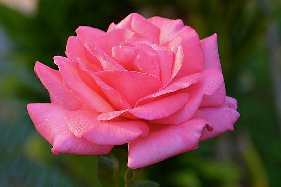 Sun-kissed pink rose by Ben Waggoner