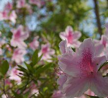 Pink Azaleas and Carolina Blue Sky! by BLemley