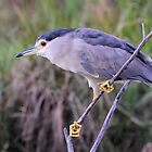 Black Crowned Night Heron by DeoVolente (Dewahl Visser)