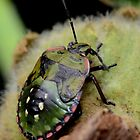 Shield bug-Do I look like a tortoise? -Melbourne by patcheah
