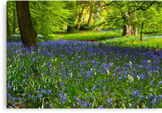 A Carpet of Bluebells by Trevor Kersley