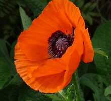 A Little Poppy While waiting for Afternoon Tea by DEB CAMERON