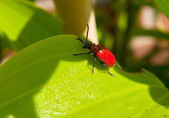 Lily Beetle by Trevor Kersley