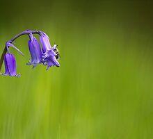 Bluebell Heaven by Gareth Blunt