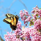 butterfly on lilac by SusieG