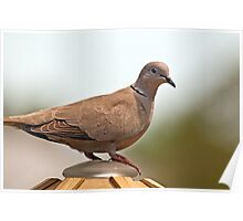 Ring Necked Dove On Feeder Top Poster