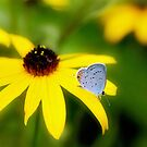 Black-Eyed Susan With Blue by Lois  Bryan