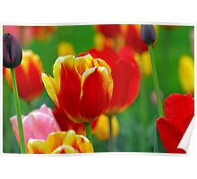 tulips of may Poster