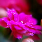 Pretty in Pink by TriciaDanby