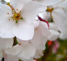 Virgin Blooms by redredlea