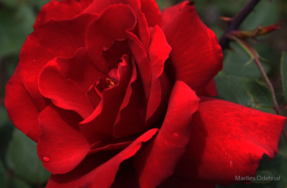 Roses in my garden - last summer by Marlies Odehnal