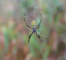 Black And Yellow Orbweaver by J. L. Gould