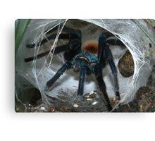 Greenbottle blue Tarantula (Chromatopelma cyaneopubescens) from ranforest in Venezuela. Canvas Print