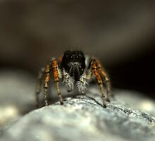 Jumping spider, Philaeus chrysops, Tajikistan by Michal Cerny