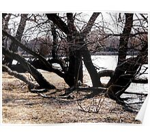 Willow trees along the Rideau River Poster