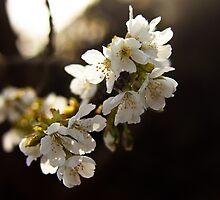 Sakura by Audrey Meffray