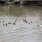 Group of Ducks on the Hudson River by Sinclere