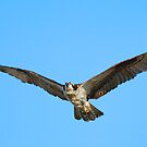 Soaring Osprey by Randall Ingalls