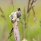 Singing Marsh Wren by Randall Ingalls