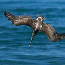 Brown Pelican Fishing by Randall Ingalls