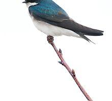 Tree Swallow in High-key by Daniel Cadieux