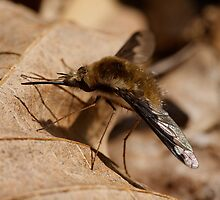Bee Fly by Tim Devine