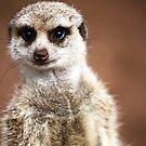 meerkat... by caradione
