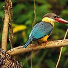 Stork billed king fisher by Om Yadav