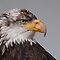 Juvenile Bald Eagle by (Tallow) Dave  Van de Laar