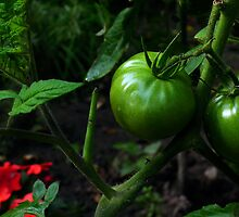 Green Tomato by BonnieToll
