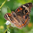 Common buckeye butterfly by jozi1