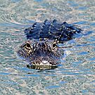 Wary gator! by jozi1