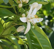 Seville Orange Blossom by taiche