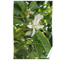 Seville Orange Blossom Poster