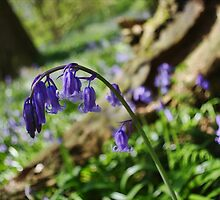 Curled Bluebell by Guy Carpenter
